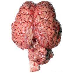 Cervella vitello